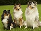 Australian shepherds vs border collies 171 australian shepherd tips