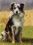 Las Rocosa Australian Shepherds Pictures